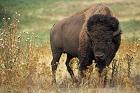 Bison }