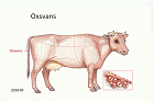 Oxsvans
