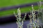 Odla bladkryddor