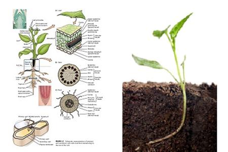Växtfysiologi ¤
