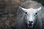 Om får-, lamm- och getkött, köttkvalité