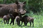 Om svindjur och tamsvin