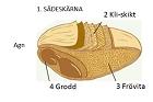 Sädeskornets anatomi