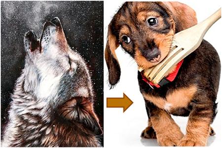 Hund är domestiserad varg