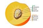 Stenfrukters anatomi