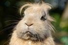 Kanin, kaninkött